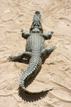Crocodile on the sand in Thailand zoo