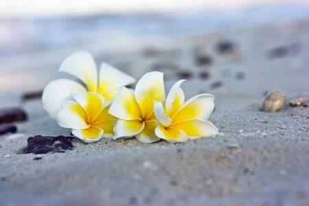 kamboja: Temple tree flowers lying on the beach Stock Photo