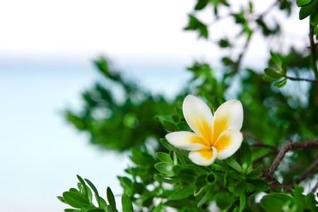 kamboja: Temple tree flower on the summer beach