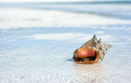Sea shell lying on the beach in the water