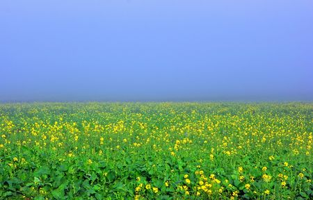 Yellow flowers on green field with slight for as background
