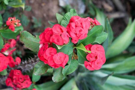 poi: Poi Sian red flowers