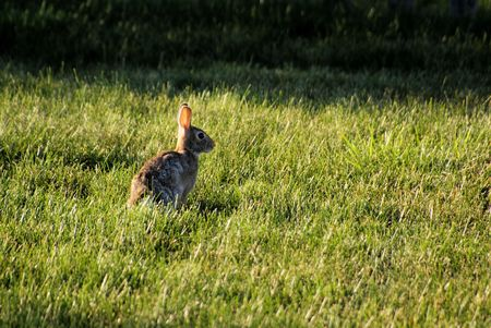 Wild rabbit in the field photo