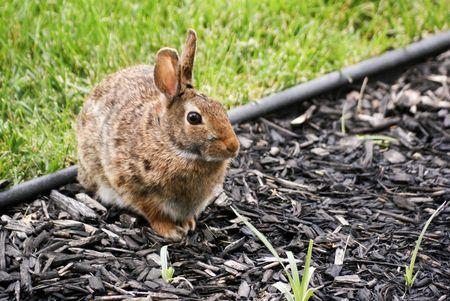 munching: Wild rabbit munching on plant in flower bed. Stock Photo