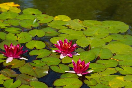 Red water lilies and pads in pond photo