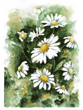 Watercolor sketch camomile flowers illustration. Picturesque art image of camomile flowers