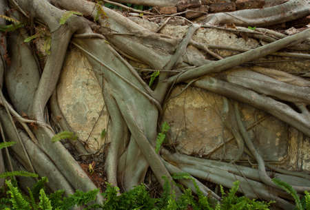 cling: Photos of tree roots cling to the cement wall  Stock Photo