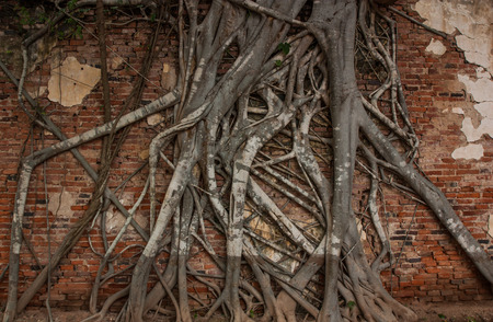 cling: Tree roots cling on the red brick wall.