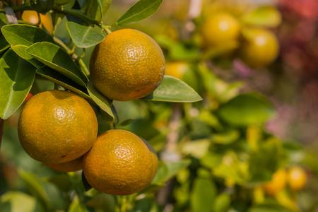 naranja fruta: Naranja huerto de �rboles frutales. Foto de archivo