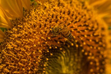 mess: Sunflower pollen on the bee mess,Close-up.