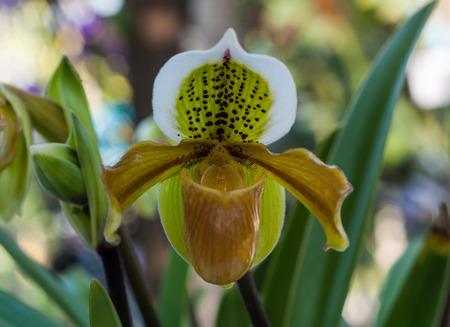 lady's: Ladys slipper orchid (Paphiopedilum), (Paph. exul)