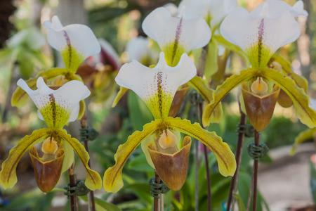 paphiopedilum: Paphiopedilum orchid.