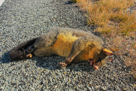 possum: Common brushtail possum, Dead,New Zealand.
