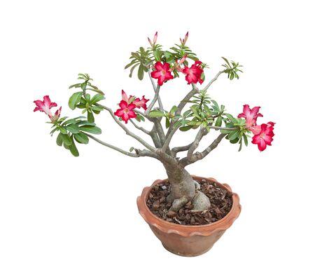 raices de plantas: Adenium obesum árbol también conocido como Desert Rose, árbol tropical en el norte de Tailandia, aislado sobre fondo blanco.