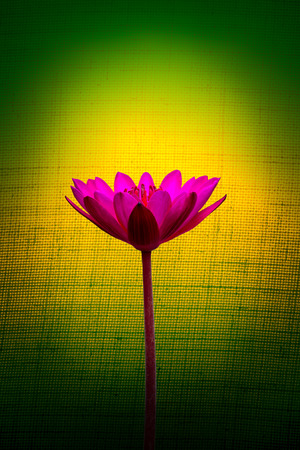 suface: Pink lotus flower on a background of yellow and green, Vintage style.