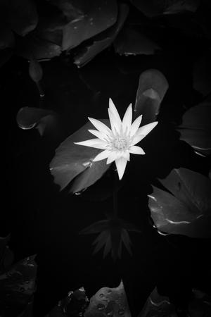 로터스 연못, 흑백 이미지입니다. 스톡 콘텐츠