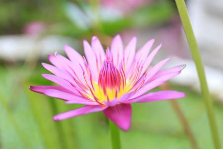 핑크 로터스 피 연꽃 욕조에서 성장.