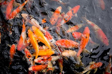 Fancy carp fish swim in water.