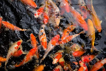 Fancy carp fish swim in water. 스톡 콘텐츠 - 98923931