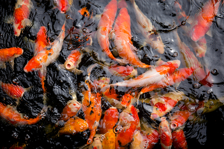 Fancy carp fish swim in water.