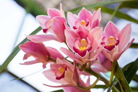 Cymbidium insigne Rolfe. beautiful orchid in Romklao Botanical Garden under the Royal Initiative, Phitsanulok, Thailand.
