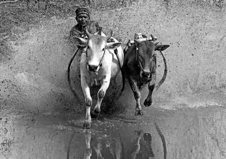 strapped: A jockey astride a harness strapped to the bulls takes part in a bull race called pacu jawi in West Sumatera, Indonesia. It is held after a rice harvest season. Black and white image. Stock Photo