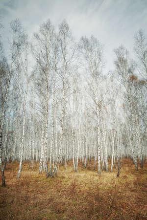 A autumn birch grove among orange grass  photo