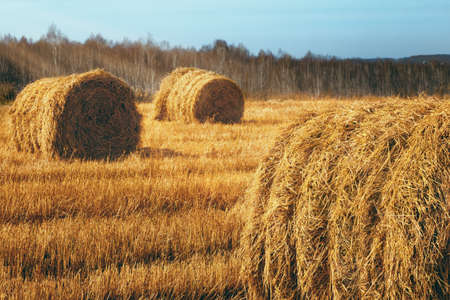 Perfect harvest landscape with straw bales amongst fields photo