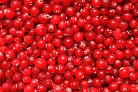 Ripe red berry cranberry closeup