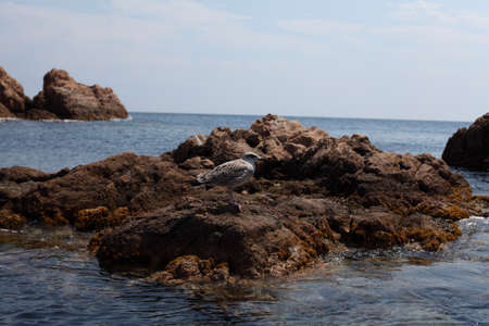 Albatross on a small stone island close up off the coast of Tossa de Mar in the Mediterranean sea  photo