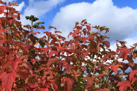 Bush with the red leaves on the background of blue autumn sky