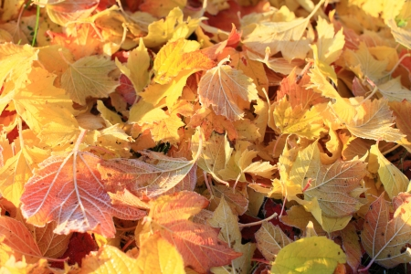 Autumn-colored leaves, lit by the morning sun close-UPS  Stock Photo