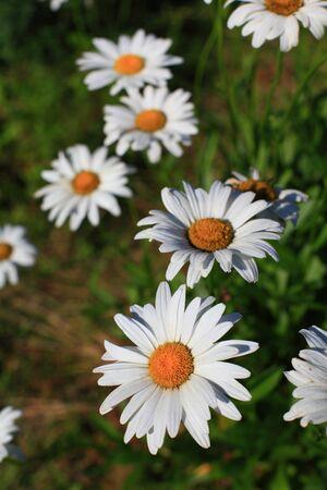Daisy garden white close-up