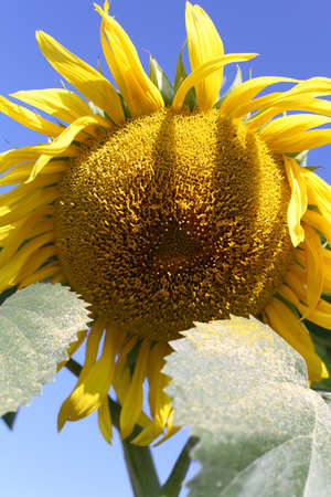 Sunflower gold against the blue of the sky early in the morning close-UPS
