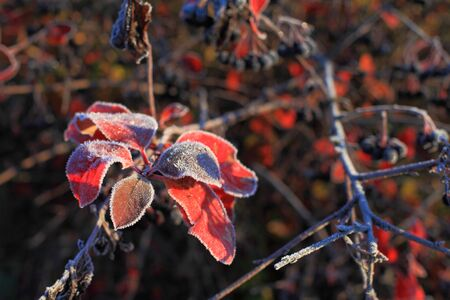 Leaves of mountain ash early autumn morning covered with frost  Stock Photo