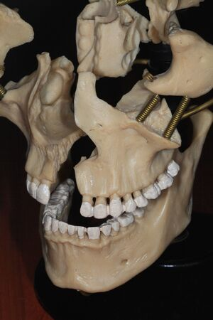 Photo moulage human jaw side of the anatomical museum on a dark background Stock Photo - 17754691