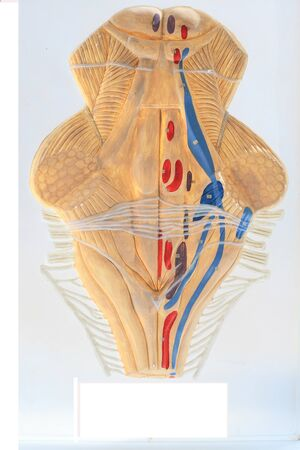 Scheme of the projection of the nuclei of cranial nerves closeup at the anatomy drug-dummy