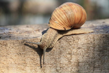 Snail on a wooden surface closeup sunny autumn afternoon.
