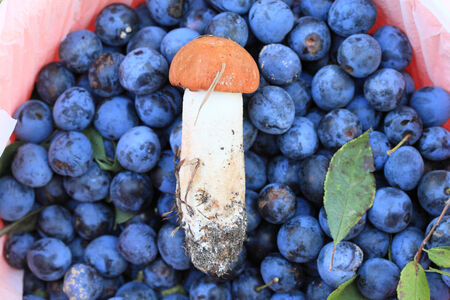 Young boletus close-up on a background of ripe plum fruit in a bucket of red.