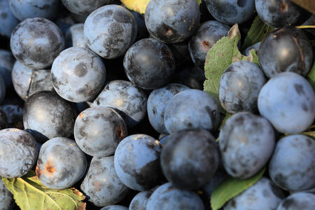 Fruits ripe plum dark blue close-up in a bucket priyarkom daylight