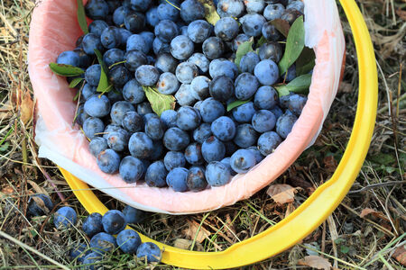 Fruits ripe plum dark blue close-up in a bucket priyarkom daylight