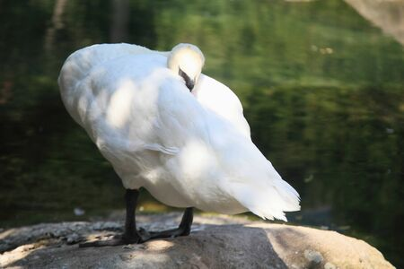 White swan on the lake close-up in the light dnvnom sunny summer day. Stock Photo