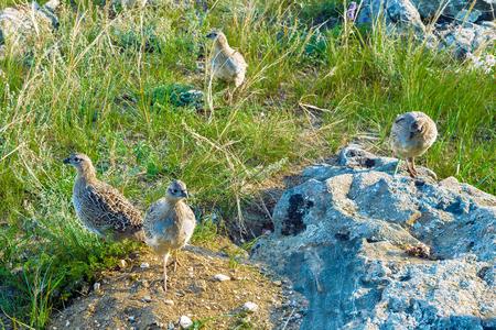 kuropatwa: Group partridge birds (Perdix daurica) in their natural habitat Zdjęcie Seryjne