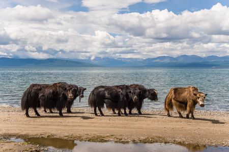 Yaks on the shore of Lake Hovsgol, Mongolia