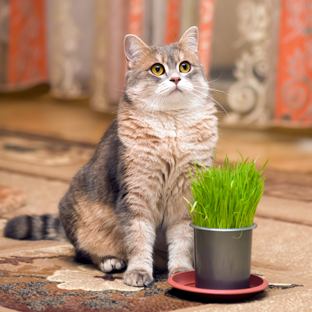grey eyed: Cat and vitamin grass in a pot