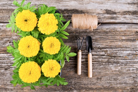 Seedlings of marigold flowers on a wooden background Stock Photo