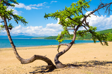Dancing tree on the sandy beach of Lake Hovsgol, Mongolia. In the distance - the Great Sayan Ridge