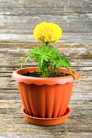 Flower marigold in a pot on a wooden background
