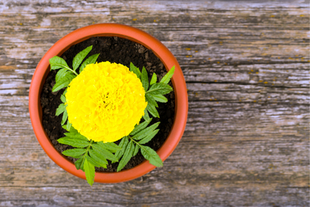 Lush flower bud of marigold in a pot on an old wooden background