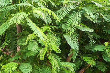 Dense green foliage of tropical tree texture, background.